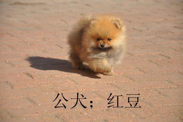 最流行的美系博美犬小公红豆已售深圳